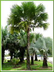 Bismarckia nobilis (Bismarck Palm, Bismark Palm), showing both the green-leaved form and the blue/silver/grey form