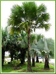 Bismarckia nobilis (Bismarck Palm, Bismark Palm), showing both the green-leaved form and the blue/silver/grey form