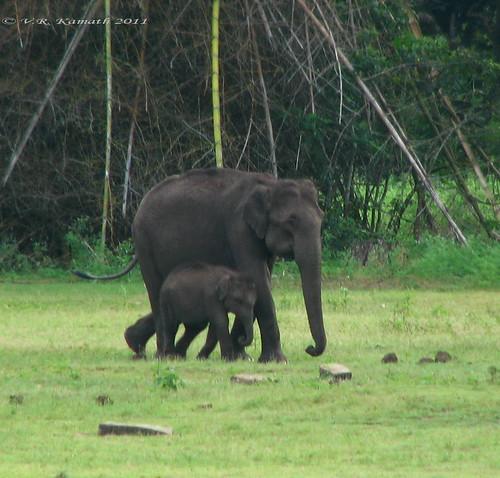 Kabini-Elephant &baby