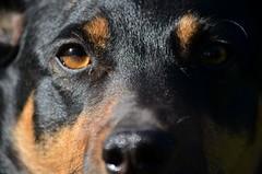 wallpaper dog pets dogs australiankelpie