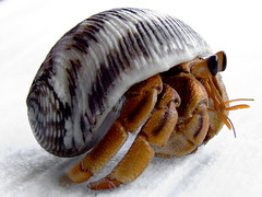 Land Hermit Crab (Vanessa Pike-Russell) Tags: macro hermitcrabs nature hermitcrab australian australia images elite finepix nsw mostinteresting newsouthwales fujifilm popular wollongong myfaves outpost landhermitcrab 333views s5600 auselite excapture vanessapikerussellbest