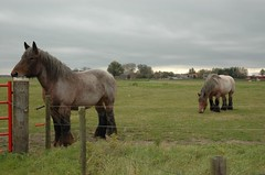 The Belgian drafthorses 2 (trekamerikalover) Tags: hometown dutchhouses autumnfolliage
