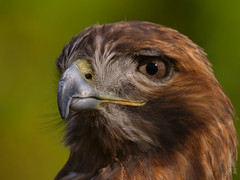 Red-tailed Hawk / Buse  queue rousse (Eric Bgin) Tags: bird nature searchthebest wildlife olympus ornithology oiseau ecomuseum e500 sigma135400mm ornithologie specanimal mywinners impressedbeauty superbmasterpiece ericbegin