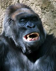 Orangután riendo mono
