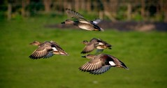 Ducks in Flight... (Martyn de Jong) Tags: bird haarlem canon flying wings ducks lucht panning takeoff eos300d eend vogel noordholland martyn pannen vleugels waarderpolder northholland opstijgen martyndejong