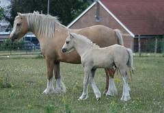 Pallies (funkymelody) Tags: horses horse mare sophie cob gypsy appleby tinker palomino foal romany vanner irishcob notphotographedbyme