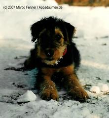 Ninette - 016 (appadaumen_de) Tags: terrier hund freund airedale niedlich herzig wauwau s airdale treu putzig brav lieb hundi hundchen hndchen spielkamerad kauknochen rdail rdl erdeel spielpartner erdhl