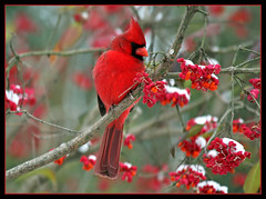 (nature55) Tags: autumn snow bird nature outdoors aves thanksgivingday takeabow northerncardinal naturesfinest nature55 platinumphoto anawesomeshot onephotoweeklycontest