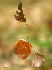 Leaf acrobatics (walla2chick) Tags: autumn usa fall leaves leaf suspension or foliage acrobatics umatilla blueribbonwinner platinumphoto anawesomeshot diamondclassphotographer flickrdiamond