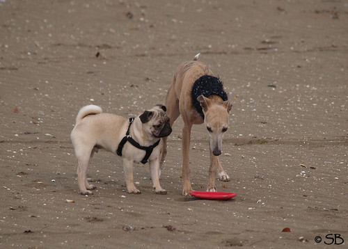 Mops Mino & Whippet Coco