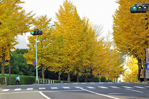 ginkgo yellow