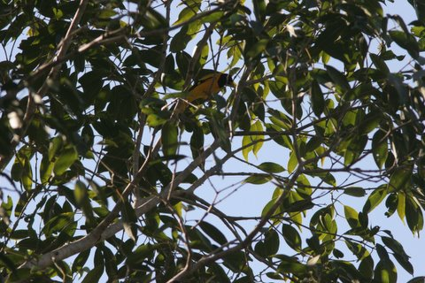 black hooded oriole with tail and eye hidden kanha 221207