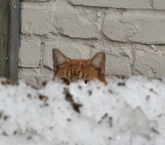 orange peeking (Laurie_P) Tags: cats lostcat feralcat straycats alleycats abandonedcat homelesscats