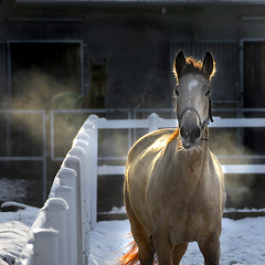 the onlooker 2 (Dan65) Tags: winter horse snow female bravo mare canter kalina gallop buckskin dun filly kinsky diamondclassphotographer