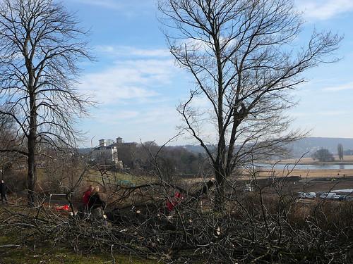 Baumfällarbeiten an der Bautzner Straße (01)