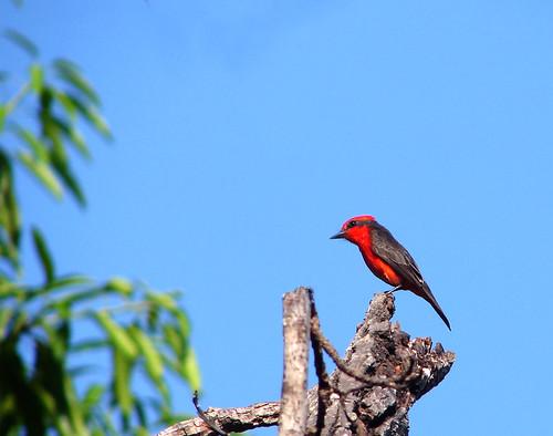 Príncipe ou Verão (Pyrocephalus rubinus) - Vermillion Flycatcher
