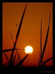 Version #2 (Kirsten M Lentoft) Tags: sunset orange sun grass silhouette spider bravo searchthebest soe themoulinrouge specnature mywinners abigfave platinumphoto colorphotoaward aplusphoto momse2600 diamondclassphotographer theunforgettablepictures thegardenofzen top20sunsetsofourhearts llovemypic kirstenmlentoft