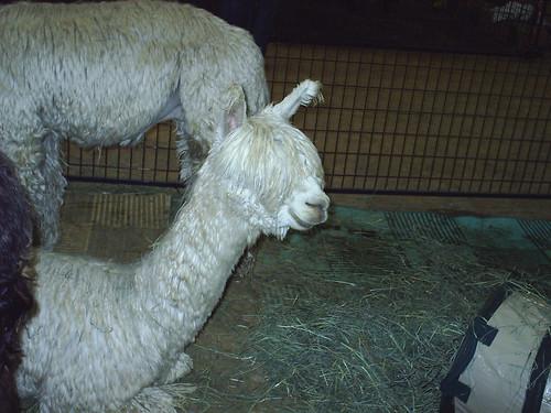 Blind Alpaca