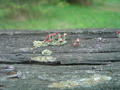Pretty lichen on fence, british soldiers (summerbloomz etc) Tags: red summer green september fungus lichen upright 2007 biketrail britishsoldiers cladoniacristatella