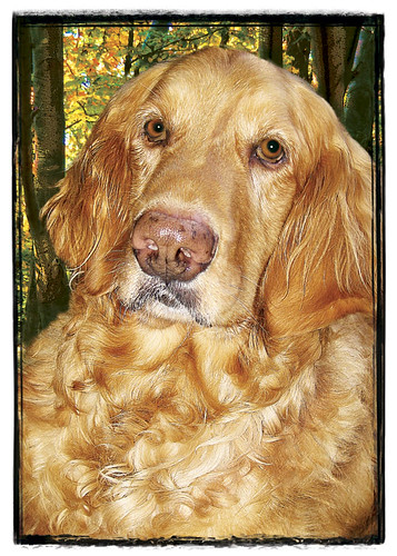 "Golden Retriever  ""Jubal"""