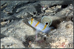 Randalls Partner Goby (Matt Wyatt) Tags: fish indonesia underwater sulawesi goby sailfinpartnergoby randallspartnergoby