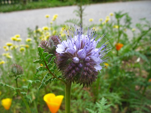 Phacelia tanacetifolia (Gamble Garden, Palo Alto, CA)