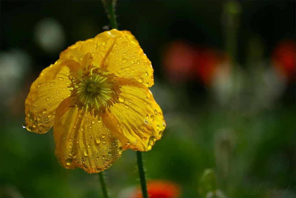 poppy 2 ©2008 RosebudPenfold