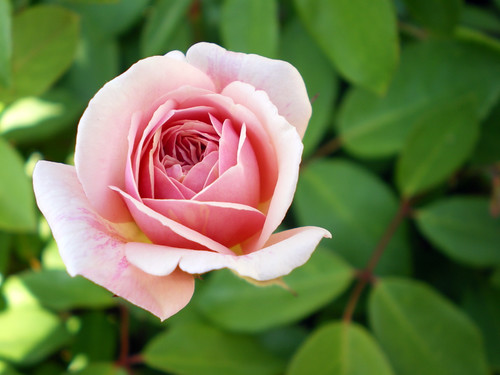 Cecile Bruner Rose