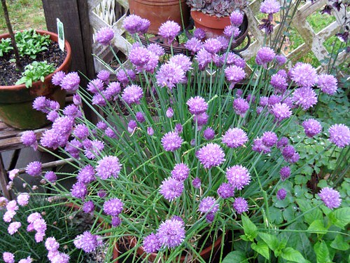 Pot of Chives in flower
