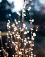 bright (RubyT (I come here for cameraderie)) Tags: pentaxk1 plants backlit backlight lensflare flare fa31ltd