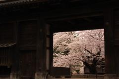 Hirosaki Park (air-time) Tags: cherry  hirosaki