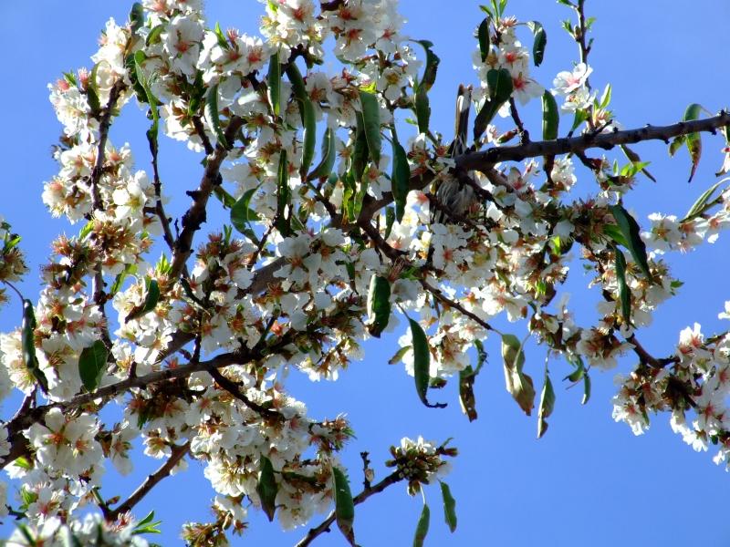 almond blossom 02