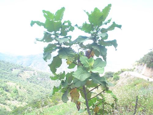 Planta: San Pablo
