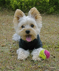 haha.. a break (shinichiro*) Tags: santa dog dogs yorkie japan nikon order sold getty d200 crazyshin rf 2007 aroundhome 28300 top20smalldogshots mywinners dogsall 20090911 2009separt02 0009999 order500 2010sold 91539166 201008sold