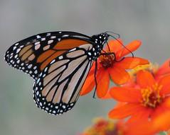 IMG_3055c (Care_SMC) Tags: flowers orange black oklahoma nature butterfly monarch zinnia blueribbonwinner macromix natureoutpost
