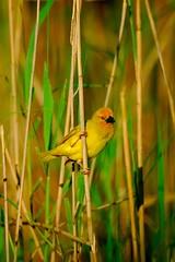 Yellow weaver (jeremyhughes) Tags: bird birds yellow reeds southafrica nationalpark nikon estuary wetlands d200 nikkor nikond200 featheryfriday ploceussubaureus 300mmf4d yellowweaver animalkingdomelite avianexcellence greaterstlucia