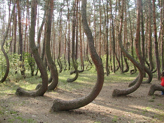 Crooked Forest, Gryfino - Poland