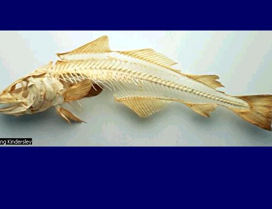 esqueletov de peixe