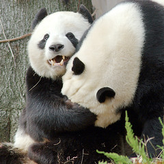 I got Pappa Bear in a headlock! (pixelmasseuse) Tags: washingtondc nationalzoo tiantian meixiang giantpandas abigfave ysplix