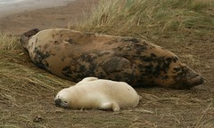 Seals chillin' (nutmeg66) Tags: november beach nature fauna grey lincolnshire seals pup mammals 2007 halichoerusgrypus naturereserves sigma105mm donnanook supershot 400d lincolnshirewildlifetrust