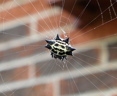 Spinybacked Orbweaver with Moustache
