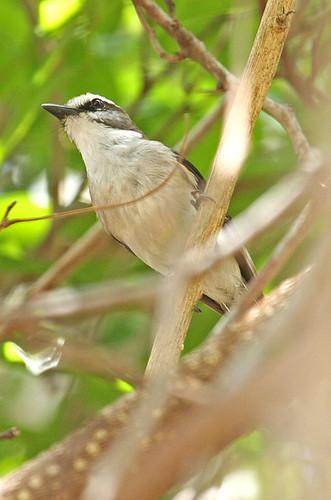 IMG_6444 White-browed Robin (Poecilodryas superciliosa) by ajmatthehiddenhouse.