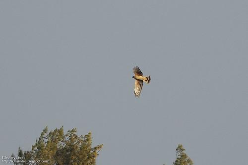 灰澤鵟 Hen Harrier, Circus cyaneus