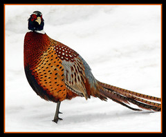 Ringneck Pheasant (nature55) Tags: bird nature wisconsin outdoors wildlife aves mercer takeabow naturesfinest ringneckpheasant specnature nature55 platinumphoto anawesomeshot diamondclassphotographer flickrdiamond
