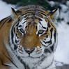 T I G E R (Luc Deveault) Tags: canada animal cat chat quebec tiger explore québec luc tigre naturesfinest supershot abigfave anawesomeshot superbmasterpiece lysdor deveault photosafarir animauxqc lucdeveault