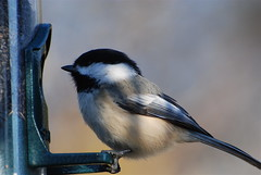 Breakfeast time! (ineedathis) Tags: fab bird garden searchthebest chickadee soe naturesfinest blueribbonwinner supershot mywinners platinumphoto anawesomeshot favoritebirds superbmasterpiece diamondclassphotographer theunforgettablepictures betterthangood theperfectphotographer