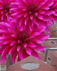 my brighest pink dahlia and chruch (fancee1960) Tags: pink dahlia church photoshop fabulous inspire soe high5 photosmiles creativephoto shieldofexcellence flickrbronze ithinkart excellentphotographerawards heartawards justhitmewithyourbestshot