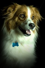 PetPhotography_0062 (sarah080102) Tags: toby portrait rescue dog pet pets brown white black cute male dogs nature beautiful smile animal tongue blackbackground wow mouth d50 puppy studio nose mutt eyes pups nikon collie teeth tripod profile ears canine headshot nikond50 professional whiskers spots hund bordercollie pup brighteyes puppydogeyes muzzle humanesociety dogcollar floppyears dogtag wetnose sidelight petphotography hairlight dogfur theunforgettablepictures platinumheartaward onephotoweeklycontest robertscustomphotography