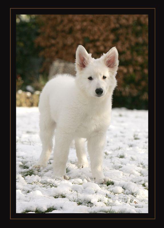 Kleiner weisser Wolf im Schnee :o)