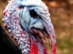 Pavo (Pablo Arias) Tags: naturaleza aves minoltaz1 paracuellos efectoorton